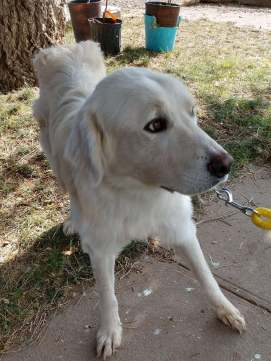 Sebastian   Male - 3 years old, great pyrenees mix...Sebastian has been rescued along with Mila from Death Row in New Mexico. We are working to get him to Telluride quickly. If you'd be interested in adopting or fostering him, please let us know!